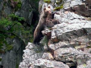 Población de osos en la Cordillera Cantábrica